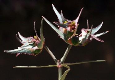 העלים מכחילים, אלו הסמוכים לתפרחת מורחבים בבסיסם, מוצרים בראשם לחוד ארוך.