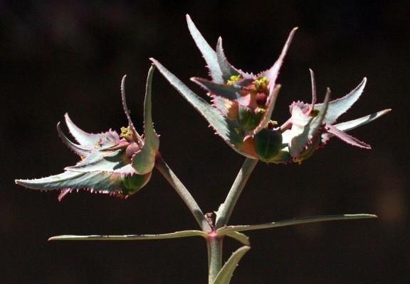 חלבלוב קהירי Euphorbia retusa Forssk.