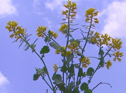 ברבראה קטנה Barbarea brachycarpa Boiss.