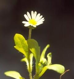 חיננית חד-שנתית Bellis annua L.