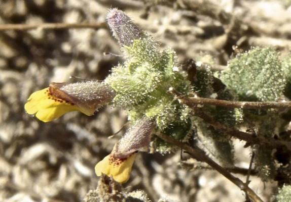 בר-לוע סיני Lindenbergia sinaica (Decne.) Benth.