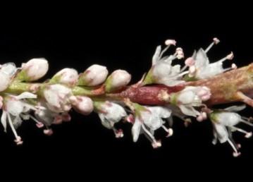 החפים ארוכים מעוקצי הפרחים.