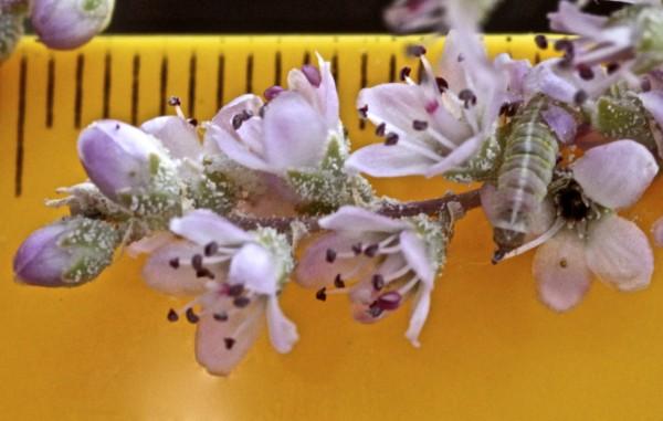 Tamarix passerinoides Delile ex Desv.