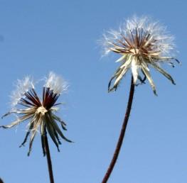 מצעית הקרקפת מכוסה שערות או קשקשים.