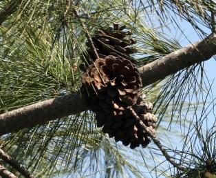 האיצטרובלים הבוגרים יושבים וניצבים בזווית ישרה לענף.