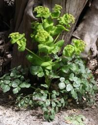 צמחים דו-שנתיים או רב-שנתיים מונוקרפיים (מתים לאחר פריחה ופרייה). העלים התחתונים גזורים ל-3 עלעלים רחבים.