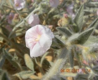 קבוצות הפרחים נישאות על עוקצים העולים באורכם על 1 ס