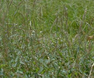 Brachiaria eruciformis (Sm.) Griseb.