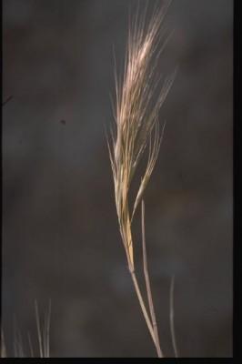 ברומית דו-אבקנית Bromus diandrus Roth