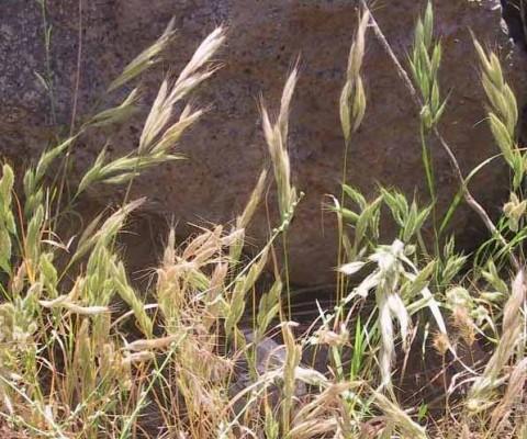 ברומית אזמלנית Bromus lanceolatus Roth