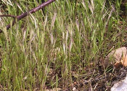 ברומית ספרדית Bromus madritensis L.