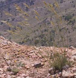 צמחים רב-שנתיים של ערבות והרים גבוהים. נדני העלים של שנים קודמות מתפרקים לרשת של סיבים.