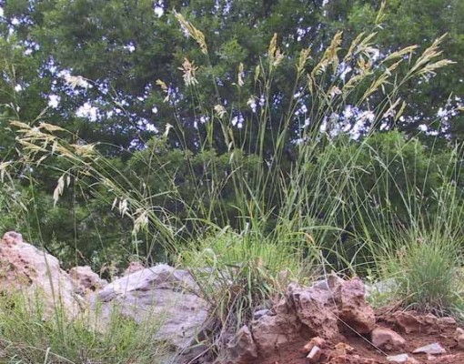 ברומית לבדנית Bromus tomentellus Boiss.