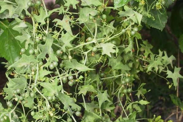 דלעת-נחש מצויה Bryonia cretica L.
