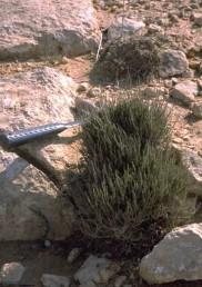 בני-שיח ירוקי-גבעולים במרבית השנה.