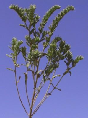 גלעינית השדה Buglossoides arvensis (L.) I.M.Johnst.