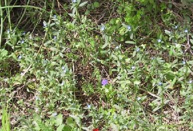 גלעינית זעירת-פרחים Buglossoides tenuiflora (L.f.) I.M.Johnst.