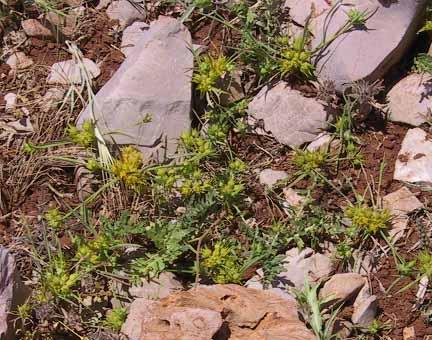צלע-שור קטנה Bupleurum nodiflorum Sm.