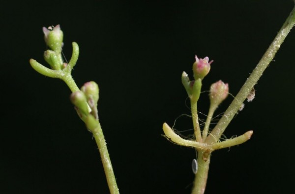 קרסולת השלולית Crassula vaillantii (Willd.) Roth