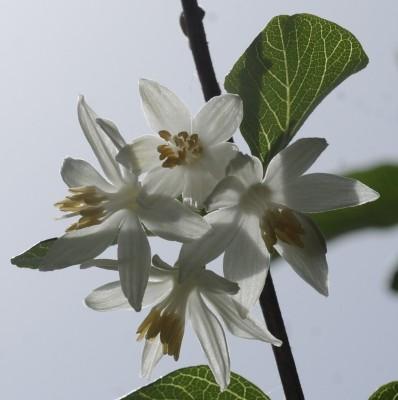 לבנה רפואי Styrax officinalis L.