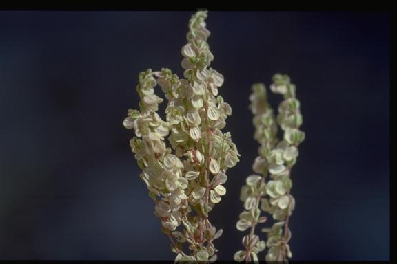 מגנונית פרושה Callipeltis aperta Boiss. & Buhse