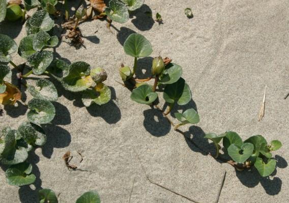 חבלבלן עגול-עלים Calystegia soldanella (L.) Roem. & Schult.