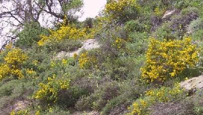 קידה שעירה Calicotome villosa (Poir.) Link