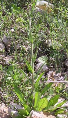 פעמונית קיפחת Campanula rapunculus L.