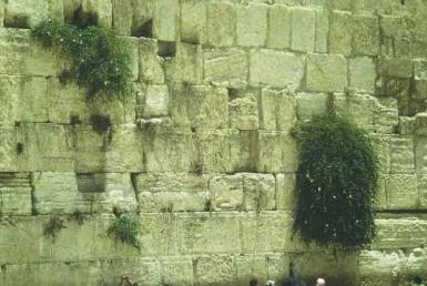 צמחי קירות ומצוקים
