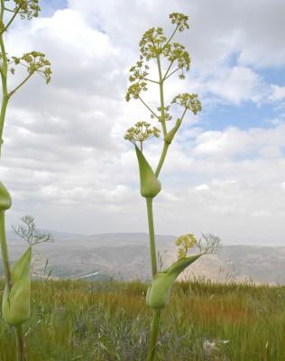 כלך שומרוני Ferula orientalis L.
