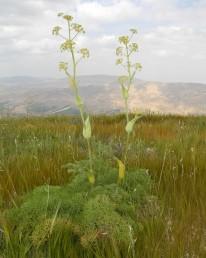 צמחי סלעים במזרח השומרון, גובהם 2-1 מ'.