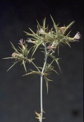 קורטם מבריק Carthamus nitidus Boiss.