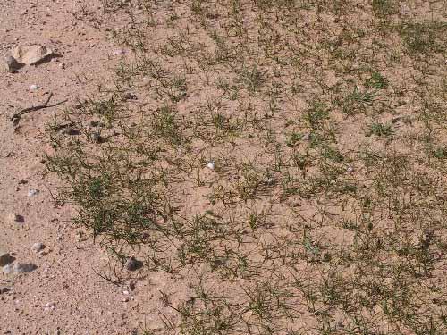 Carex pachystylis J.Gay