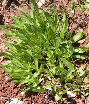 אוזן-גדי צהובה Catananche lutea L.