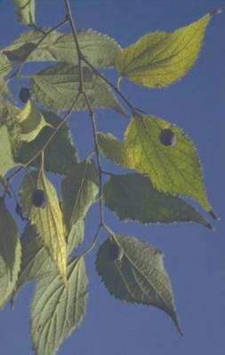 מיש דרומי Celtis australis L.