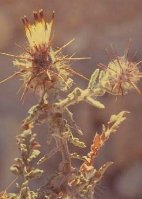 דרדר מצרי Centaurea aegyptiaca L.