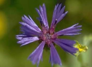 עשבים חד-שנתיים, צבע הפרחים כחול, פרחי ההיקף גדולים ובלתי נכונים.