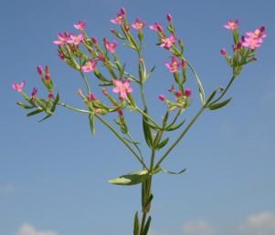 הפרחים נישאים על עוקצים ברורים. העלים בבסיס הצמח ערוכים כשושנת.