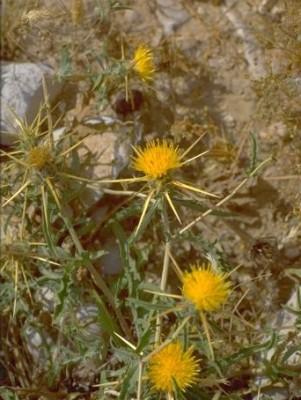 Centaurea hyalolepis Boiss.