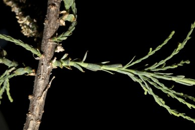 עלי הגבעול בעלי טרף ברור, מוארכים-איזמלניים עם קצה מחודד או קהה וכפוף כלפי פנים. מידות העלים עד 6X1.5 מ