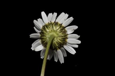 הפרחים ההיקפיים לשוניים, לבנים; שפתם של חפי-המעטפת חומה-כהה עד שחרחרה.