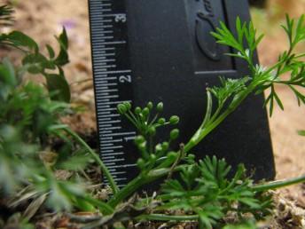 צמחים חד-שנתיים זעירים, גובהם 15-5 ס