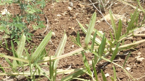 טופח דביק Lathyrus gloeospermus Warb.& Eig
