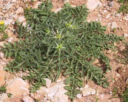 דרדר מצוי Centaurea iberica Spreng.