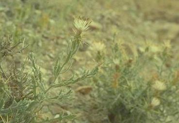 Centaurea lanulata Eig