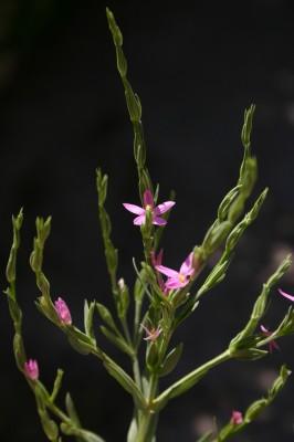 ערבז משובל Centaurium spicatum (L.) Fritsch