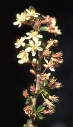 שיחים או עצים זקופים. העלה ירוק משני הצדדים. הפרחים נישאים על עוקצים שאורכם כאורך הפרח.