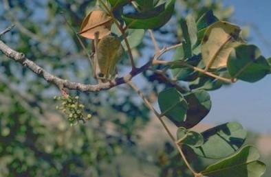 הפרחים הנקביים נישאים על ענפים וגזעים של צמחי נקבה.