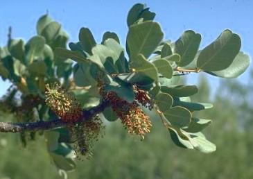 הפרחים הזכריים ניכרים בקבוצות בנות 5 אבקנים; הם מצויים על עצי-זכר.