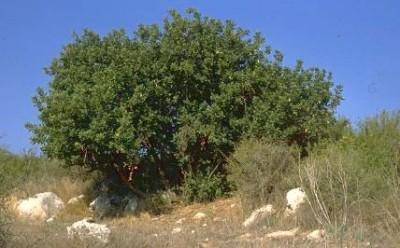 עצים ירוקי-עד בעלי עלים מורכבים עם זוגות של עלעלים גדולים.